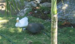 Mr Duck + Mrs Guinea 2
