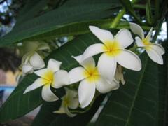 Fragrant plumeria